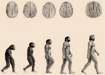 Brain evolution